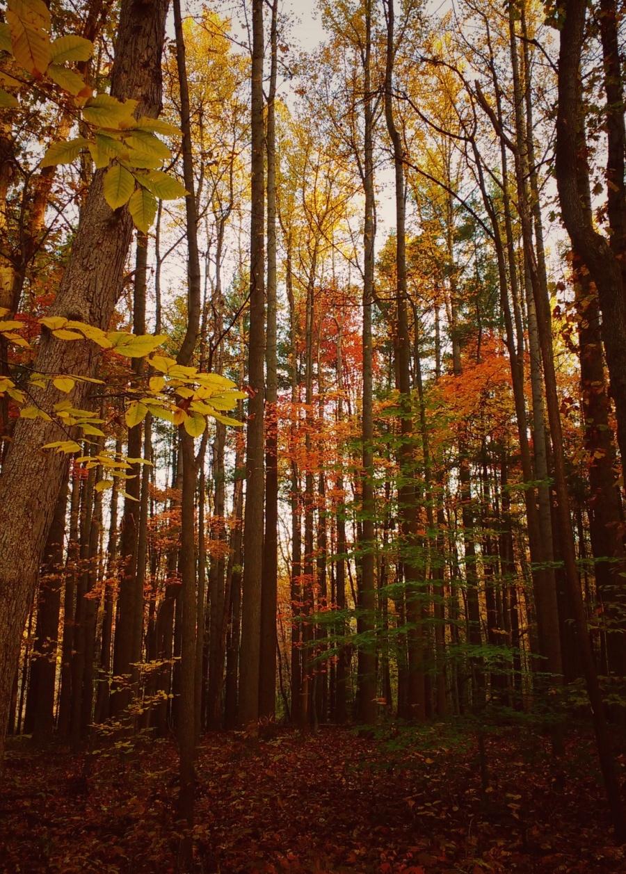 oak-hill-tall-trees